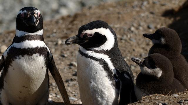 Szökési kísérlet pingvin módra