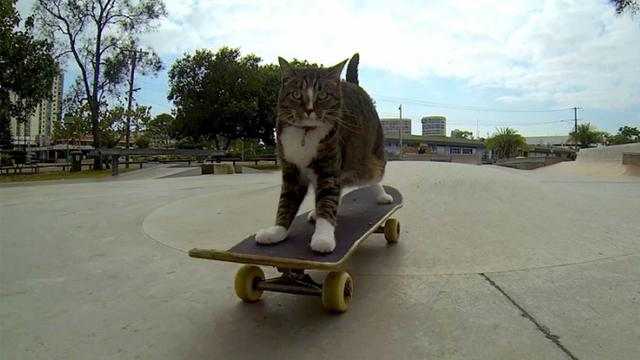 Boomer a gördeszkázó cica