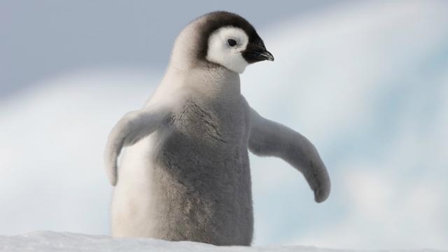 A 10 legcukibb pingvines gif