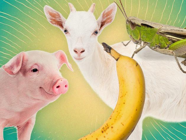 Cerdo, Cabra, Banana, Grillo | Short | ¡¡Se han vuelto reales!!