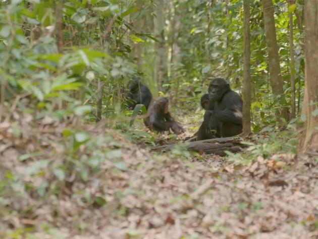 Protegiendo a los chimpancés