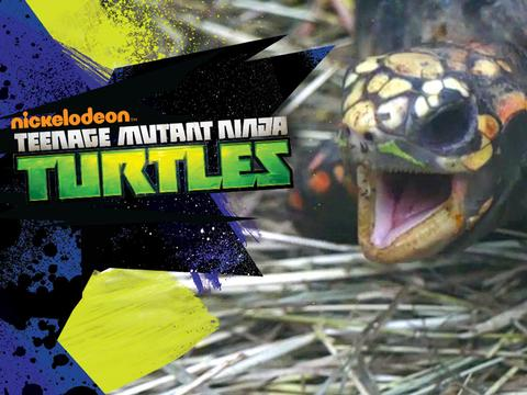 Ninja Turtles theme song as sung by pets